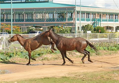 Horsing Around by Horsing Around Stabroek News