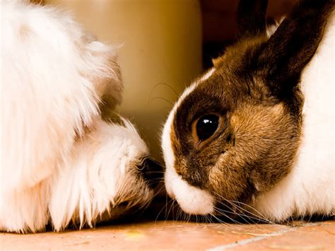 rabbit dogs e cuniculi from rabbit to worms germs