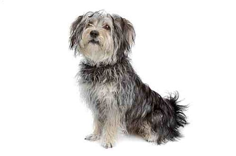 medium sized yorkie popular breeds in ireland small dogs large dogs petmania