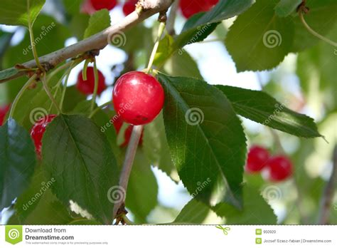 cherry tree wisnie w czekoladzie sour cherry tree stock photo image of delicious edible 950920