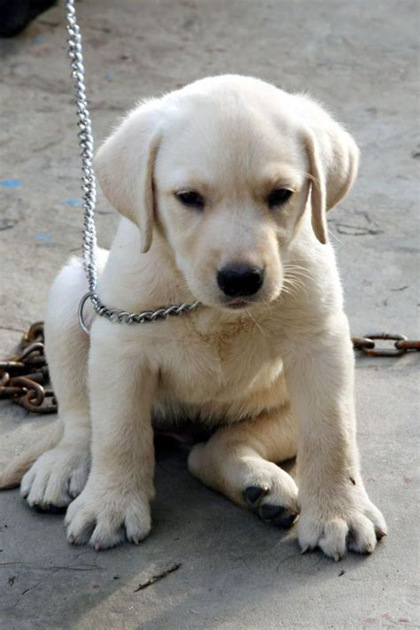 golden retriever price 17 best ideas about white labrador on white