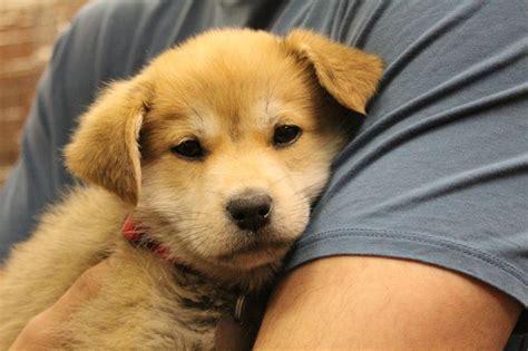golden retriever shiba inu mix jiva is a shiba inu yellow labrador retriever mix puppy with a bubbly personality