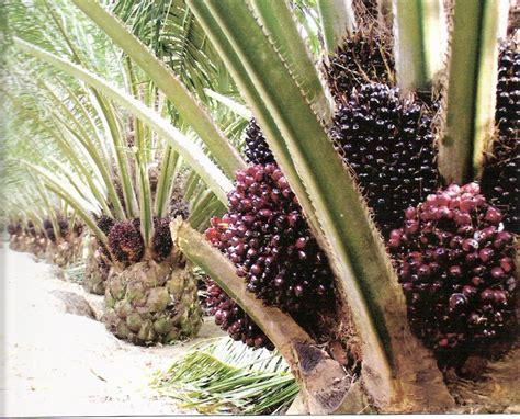 Minyak Kelapa Sawit Di Indonesia kelapa sawit dilema tambang emas pertanian indonesia
