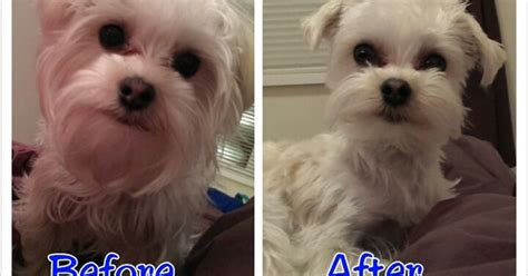 Do Morkie Puppies Shed by Milo White Morkie Gets A Haircut Morkie Collage