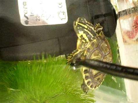 lada uvb per tartarughe d acqua acquario tartarughe d acqua dolce