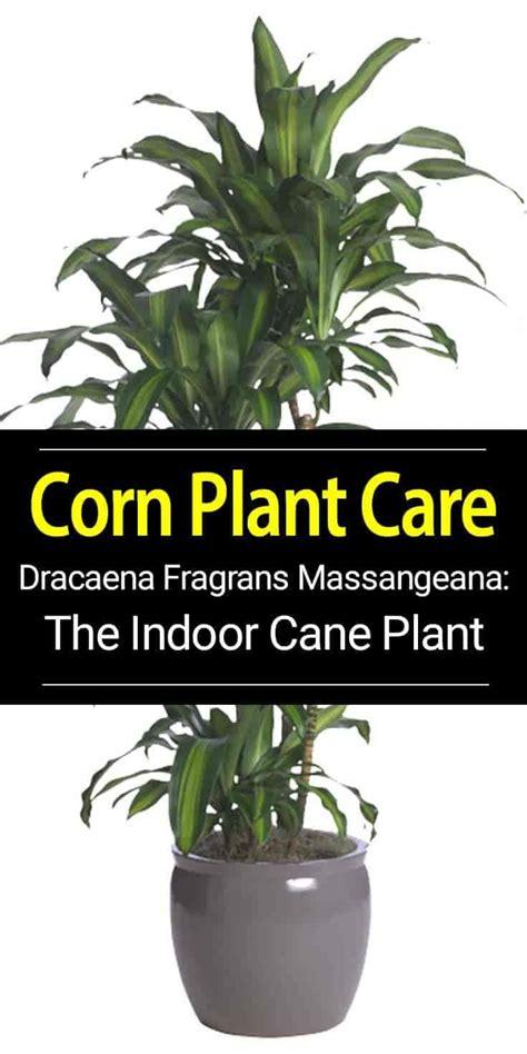 dracaena massangeana corn plant plants corn plant care