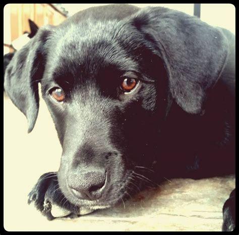 half rottweiler half lab your photos national puppy day katu