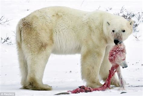 is global warming causing hungry polar bears to resort to cannibalism daily mail online