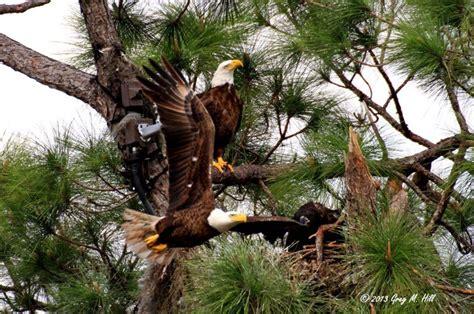 AMERICAN BALD EAGLE Southwest Florida Eagle Cam's Page | A ...