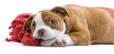puppies teething what every owner ought to about puppy teething not in the housenot in