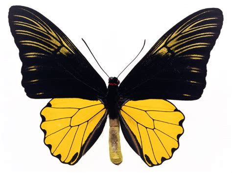 black wallpaper with yellow butterflies butterfly free stock photo a yellow and black