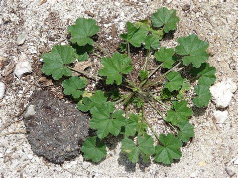 little plants malva parviflora little mallow go botany