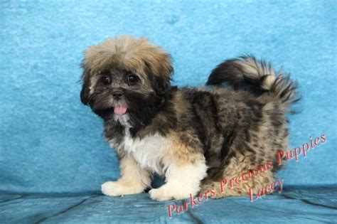 parkers precious puppies quot the lhasa apso quot s precious puppies quot the puppy you will buy