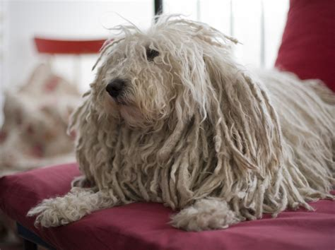 puppies picture puli photos doglers