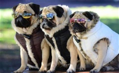 why do pugs shed so much pugpugpug is there a pug mixed breed that doesn t shed