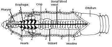 diagram of earthworm with label earthworm dissection
