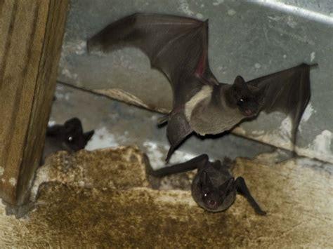 vleermuis in huis vleermuizen in huis verjagen