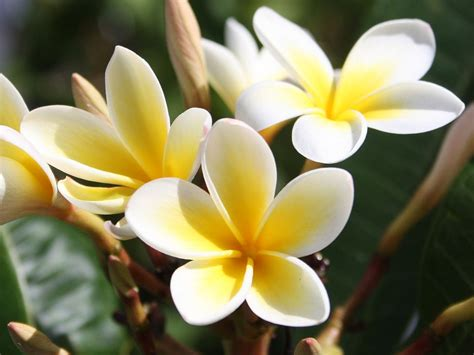 best flowers in the world flowers from hawaii romantic flowers plumeria flower