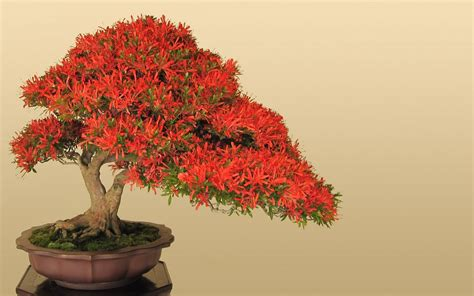 bonzi tree world s smallest plants bonsai trees images pictures hd
