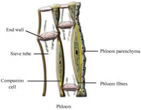 Phloem diagram easy diagram of xylem and