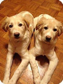 golden retriever puppies minneapolis jinger adopted puppy 01152015b minneapolis mn great pyrenees setter mix