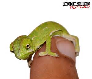 For sale baby veiled chameleons 20 faunaclassifieds