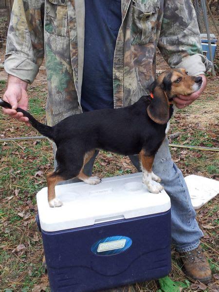 rabbit dogs for sale rabbit dogs for sale carolina sportsman classifieds nc