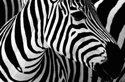 foto zebra design animals black color contrast photo stripes image