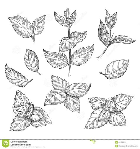 mint leaf coloring page mint hand sketch vector illustration peppermint engraved