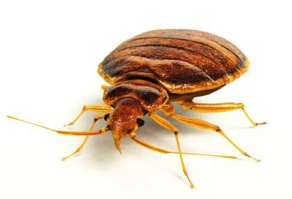 do bed bugs jump or fly bedbug extermination valley stream ny