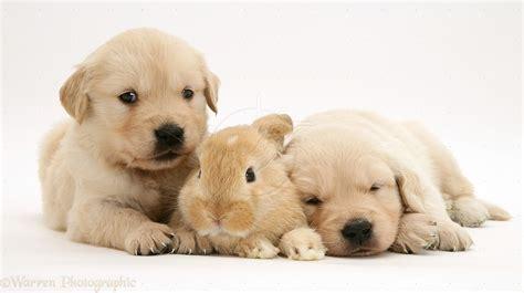 baby golden retriever puppies baby golden retriever puppies hd and kittens litle pups