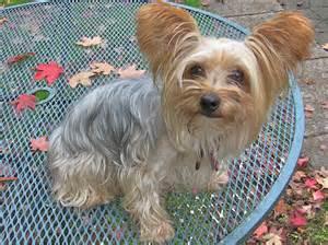 types of yorkie haircuts pictures tiffy before haircut