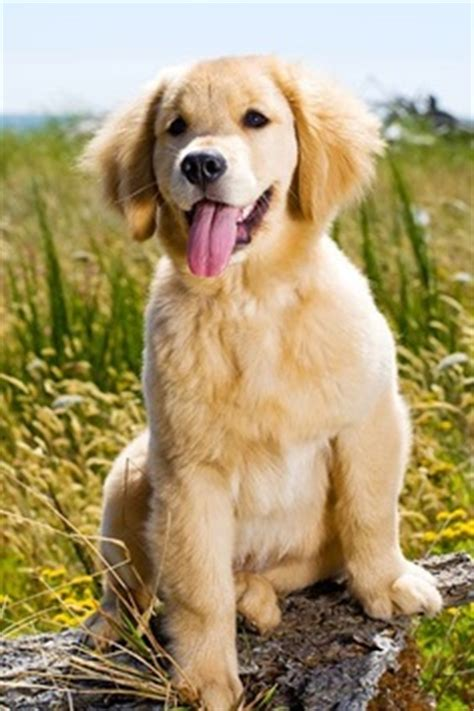 lifespan of golden retriever golden retriever expectancy many