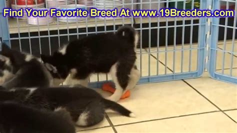 puppies for sale in owensboro ky siberian husky puppies dogs for sale in county kentucky ky