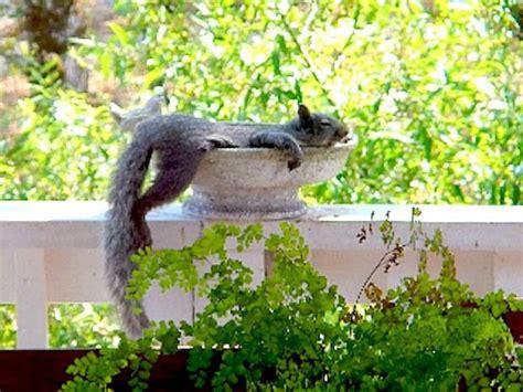 backyard bird baths squirrels raccoons invading your bird baths and bird feeders backyard birds