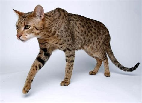 House Cat by Ashera Cat Domestic Cat Part Serval Cat
