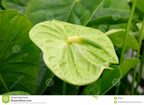 Sofa Anthurium green anthurium stock photo image 808390