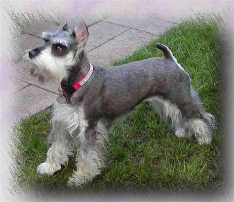 schnauzer hair styles 7 pageant worthy schnauzer dog haircuts hairstylec