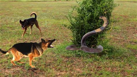 dogs vs dogs 2 snake vs smart dogs bite vicious snake funnydog tv