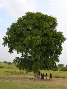 pictures of trees tamarind tree ghana tree aid