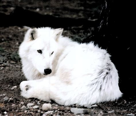 white wolf wolves images white wolf hd wallpaper and background photos 1129983