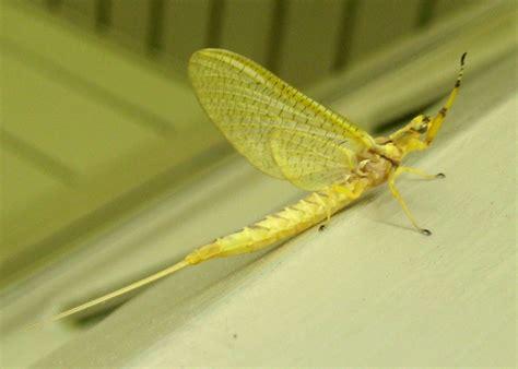yellow mayfly pattern mayflies what s that bug