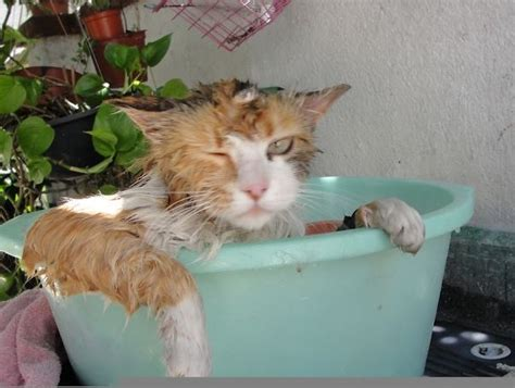 why do cats like bathtubs 24 crazy cats that broke all rules and fell in love with water