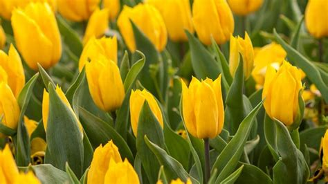 fiori tulipani tulipani piante da giardino fiore tulipano