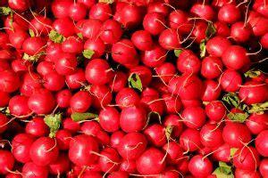 can dogs eat radishes can dogs eat radishes pet consider
