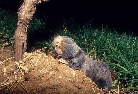 Mole Shedding by Blind Mole Rat May Shed New Light On Evolution Process