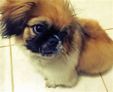 can pomeranians eat peanut butter leo the pekingese puppies daily puppy