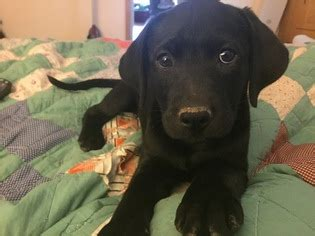lab puppies for sale in arkansas view ad labrador retriever mix puppy for sale arkansas gentry usa