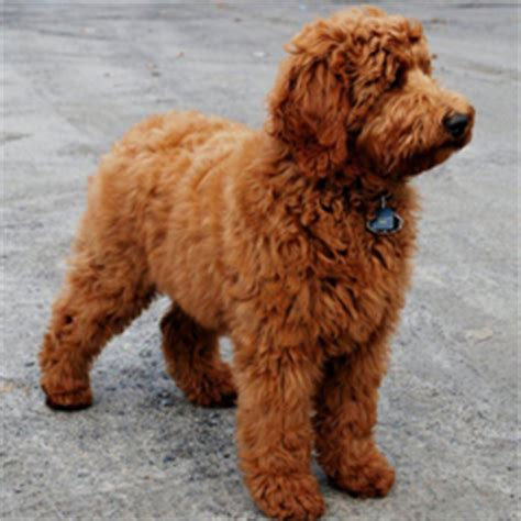 large non shedding dogs related keywords large non
