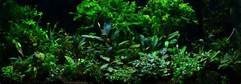 aquascape zeitschrift bucephalandra plants deutsch bucephalandra magische